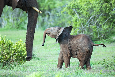 African Elephant (Loxodonta africana) calf interacting with mother, Addo National Park, South Africa
