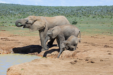 African Elephant (Loxodonta africana) mother, juvenile and calf drinking at waterhole, Addo National Park, South Africa
