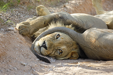African Lion (Panthera leo) male with companion's tail around his chin, Kgalagadi Transfrontier Park, South Africa