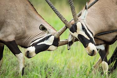 Oryx (Oryx gazella) males fighting, Kgalagadi Transfrontier Park, South Africa