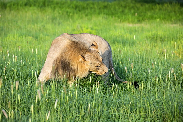 African Lion (Panthera leo) male eating grass to help with digestion, Kgalagadi Transfrontier Park, South Africa