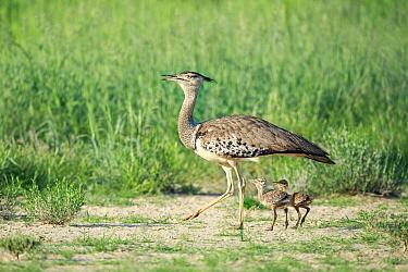 Kori Bustard (Ardeotis kori) parent with chicks, Kgalagadi Transfrontier Park, South Africa