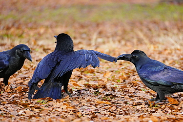Large-billed Crow (Corvus macrorhynchos) trio fighting, Tokyo, Japan