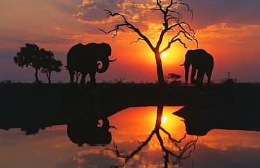 African Elephant (Loxodonta africana) pair at waterhole at sunset, Chobe National Park, Botswana