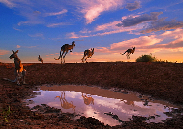 Red Kangaroo (Macropus rufus) group jumping from waterhole, Sturt National Park, New South Wales, Australia