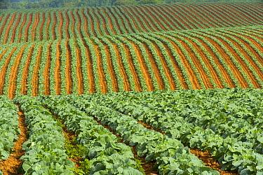 Cabbage (Brassica oleracea) field, Bay of Fundy, New Brunswick, Canada