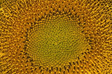 Common Sunflower (Helianthus annuus) flower, Colorado
