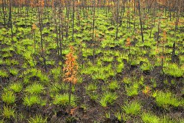 New grass growing after wildfires, Dalton Highway, Alaska