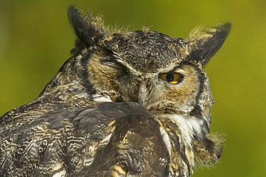 Great Horned Owl (Bubo virginianus), Kincaid Park, Anchorage, Alaska