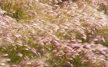 Squirreltail Barley (Hordeum jubatum) field, Alaska Highway, Yukon, Canada