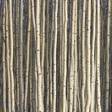 Quaking Aspen (Populus tremuloides) trees, Alaska Highway, Yukon, Canada
