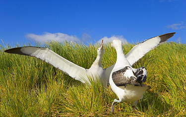 Wandering Albatross (Diomedea exulans) pair courting, Prion Island, South Georgia Island