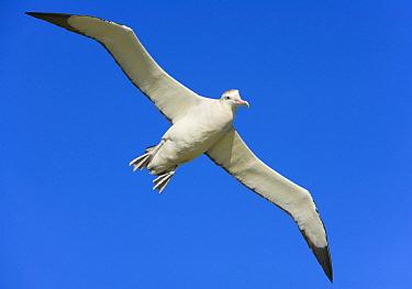 Wandering Albatross (Diomedea exulans) flying, Prion Island, South Georgia Island