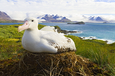 Wandering Albatross (Diomedea exulans) incubating egg on nest, Prion Island, South Georgia Island