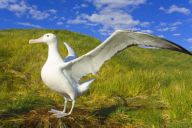 Wandering Albatross (Diomedea exulans) spreading wings, Prion Island, South Georgia Island