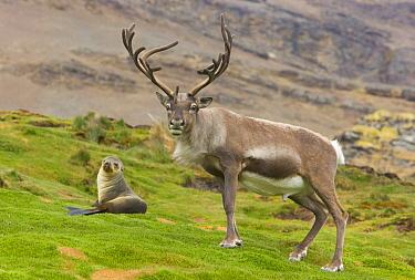 Caribou (Rangifer tarandus) bull and Antarctic Fur Seal (Arctocephalus gazella) female, Husvik, South Georgia Island