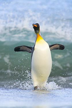 King Penguin (Aptenodytes patagonicus) coming ashore, Gold Harbor, South Georgia Island