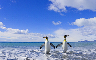 King Penguin (Aptenodytes patagonicus) pair coming ashore, Gold Harbor, South Georgia Island