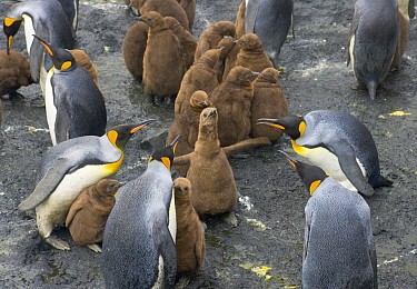 King Penguin (Aptenodytes patagonicus) group attacking chick in busy rookery, Right Whale Bay, South Georgia Island