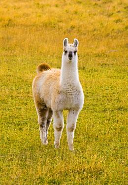 Alpaca (Lama pacos), Puerto Natales, Patagonia, Chile