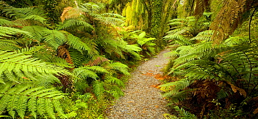 Path in temperate rainforest, South Island, New Zealand