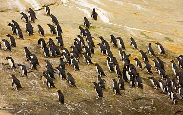 Southern Rockhopper Penguin (Eudyptes chrysocome) flock, New Island, Falkland Islands