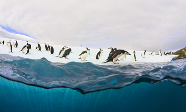 Chinstrap Penguin (Pygoscelis antarctica) group on iceberg, South Shetland Islands, Antarctica