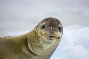 Leopard Seal (Hydrurga leptonyx), Antarctic Peninsula, Antarctica