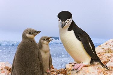 Chinstrap Penguin (Pygoscelis antarctica) parent and chicks, Spigot Point, Antarctic Peninsula, Antarctica
