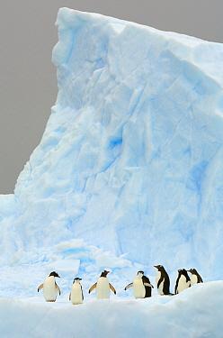 Gentoo Penguin (Pygoscelis papua) and Chinstrap Penguin (Pygoscelis antarctica) on iceberg, Gerlache Passage, Antarctic Peninsula, Antarctica