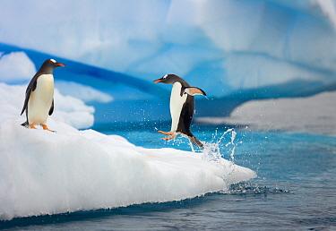 Gentoo Penguin (Pygoscelis papua) jumping on iceberg, Gerlache Passage, Antarctic Peninsula, Antarctica
