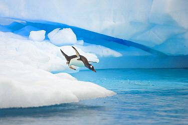 Gentoo Penguin (Pygoscelis papua) jumping from iceberg, Gerlache Passage, Antarctic Peninsula, Antarctica