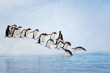 Gentoo Penguin (Pygoscelis papua) group jumping from iceberg, Antarctic Peninsula, Antarctica
