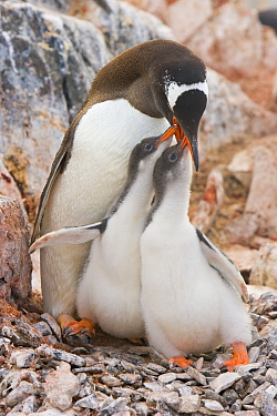 Gentoo Penguin (Pygoscelis papua) parent feeding begging chicks on nest, Booth Island, Antarctic Peninsula, Antarctica