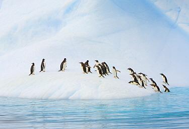 Gentoo Penguin (Pygoscelis papua) group coming onto iceberg, Gerlache Passage, Antarctic Peninsula, Antarctica