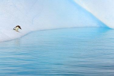 Gentoo Penguin (Pygoscelis papua) about to jump from iceberg, Gerlache Passage, Antarctic Peninsula, Antarctica