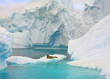 Leopard Seal (Hydrurga leptonyx) on ice floe amongst icebergs, Booth Island, Antarctic Peninsula, Antarctica