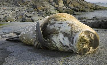 Weddell Seal (Leptonychotes weddellii) sleeping, Cape Evensen, Antarctic Peninsula, Antarctica