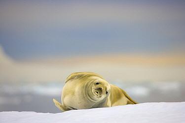 Crabeater Seal (Lobodon carcinophagus), Cape Evensen, Antarctic Peninsula, Antarctica