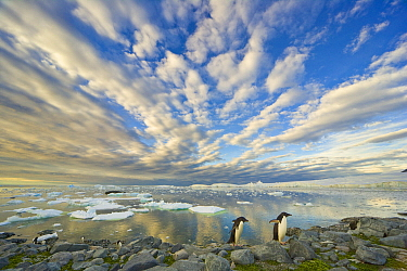 Adelie Penguin (Pygoscelis adeliae) group on coast, Holtedahl Bay, Antarctic Peninsula, Antarctica