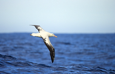 Wandering Albatross (Diomedea exulans) flying, Drake Passage, Antarctica
