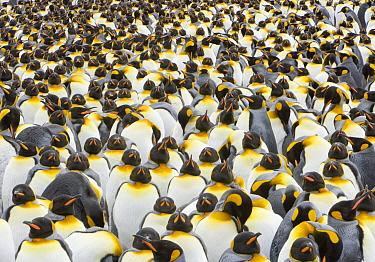 King Penguin (Aptenodytes patagonicus) group, South Georgia Island