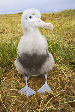 Wandering Albatross (Diomedea exulans) chick on nest, Trollhul, South Georgia Island