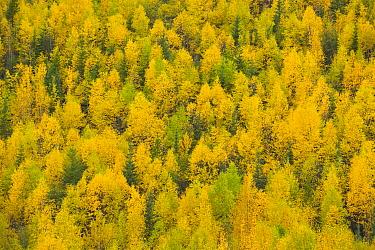 Quaking Aspen (Populus tremuloides) trees in autumn, Alaska Highway, British Columbia, Canada
