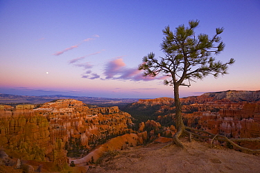Pine (Pinus sp) tree and hoodoos, Bryce Canyon National Park, Utah