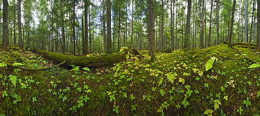 Western Red Cedar (Thuja plicata) forest with moss, 360 degree view British Columbia, Canada