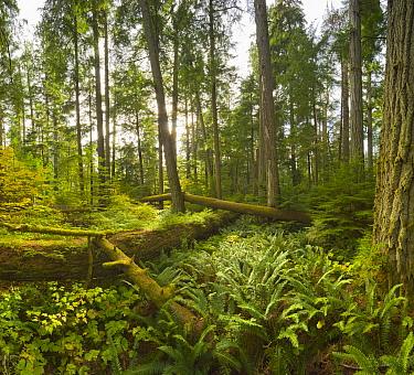 Douglas Fir (Pseudotsuga menziesii) and Western Red Cedar (Thuja plicata) trees and mosses in temperate rainforest, McMillan Provincial Park, Vancouver Island, British Columbia, Canada