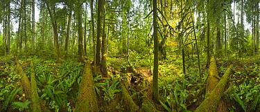 Western Red Cedar (Thuja plicata) and Douglas Fir (Pseudotsuga menziesii) trees in temperate rainforest, 360 view, McMillan Provincial Park, Vancouver Island, British Columbia, Canada