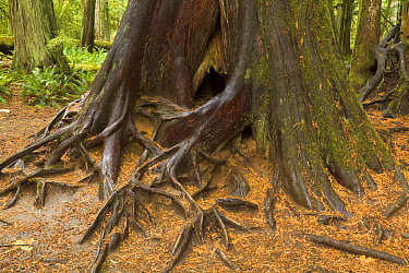 Western Red Cedar (Thuja plicata) tree with roots in temperate rainforest, McMillan Provincial Park, Vancouver Island, British Columbia, Canada