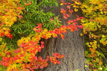 Leaves in autumn, Oregon